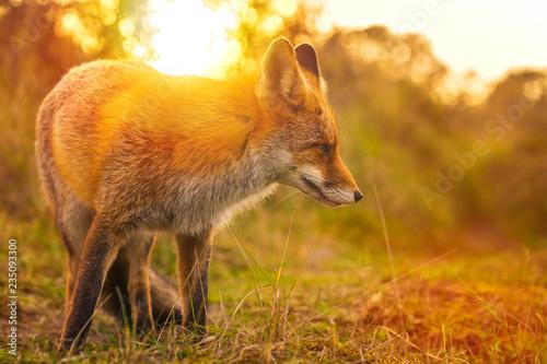 Valokuvatapetti Wild red fox Vulpes Vulpes evening sunset