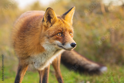 Obraz Wild red fox Vulpes Vulpes evening sunset - fototapety do salonu