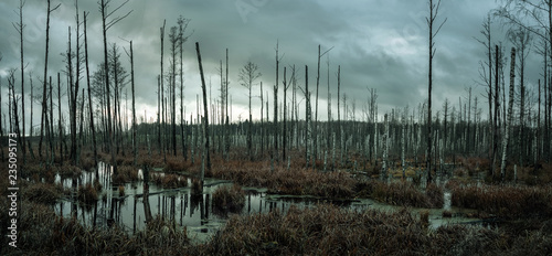 Fototapeta  Panoramic view of a misty swamp in the forest with copy space