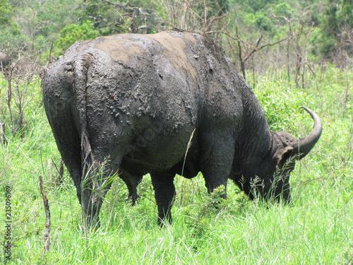 Recess Fitting Buffalo Afrika Tiere Natur