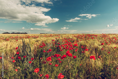 A field with blooming scarlet poppies. Vintage photo.