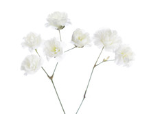Small Flowers Of Gypsophila  Isolated On White Background. Selective Focus