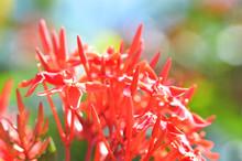 Ixora Flower Red Spike