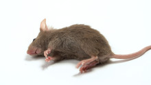 The Dead Mouse On White Background For Rat Die Animal Background Concept