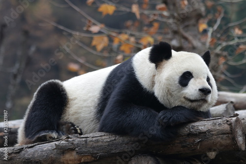 Close up Sleeping Giant Panda Face Slika na platnu