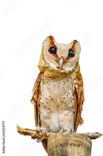 Owl is on white Fototapete