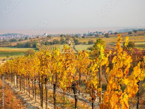 Canvas Prints Vineyard Autumn vineyards near Oggau in Burgenland Austria
