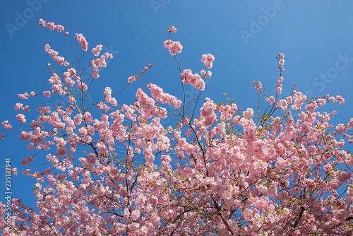 Wunderschöner Blütenkirschbaum und blauer Himmel