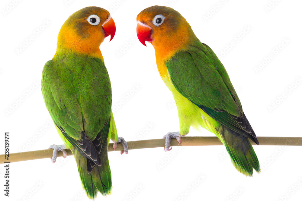 Photo  fischeri lovebird parrot