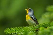 Northern Parula Male Singing Taken In Algonquin PP Canada