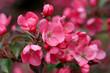 Leinwanddruck Bild - Zierquitte (Chaenomeles) oder Scheinquitte mit Blüten