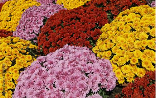 Massif de chrysanthèmes