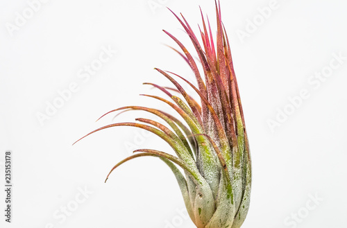 Obraz Closeup of a cultivated tillandsia