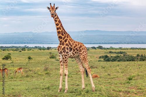 giraffe four legs