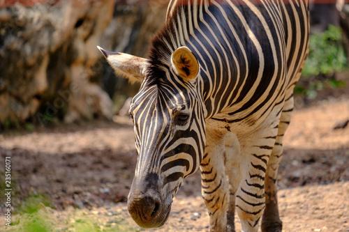 Tuinposter Zebra zebra in the zoo in closeup