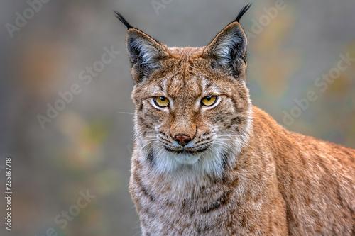Foto op Plexiglas Lynx Der Luchs
