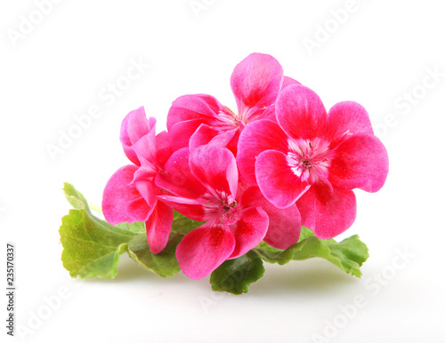Geranium Pelargonium Flowers Isolated On White Background Canvas Print