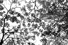 Silhouette Tree Branches And Leaves In Nature - Monochrome
