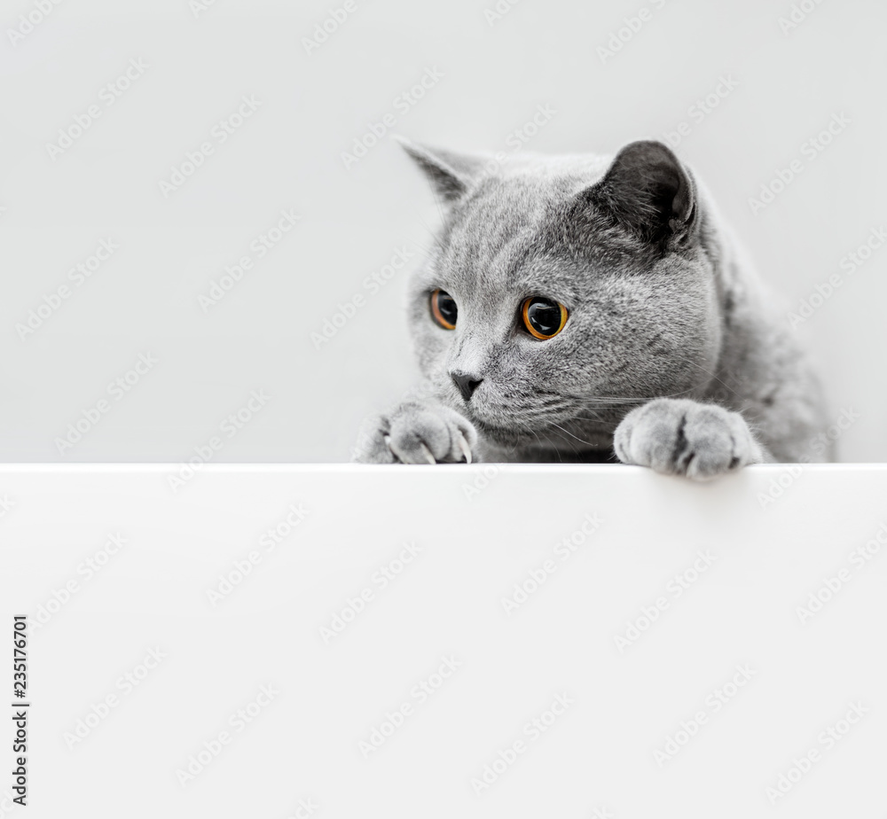 Fototapeta Cute playful grey cat leaning out