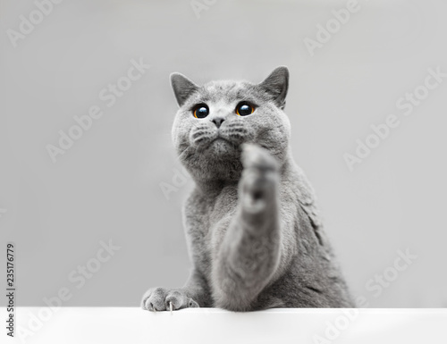 Young grey cat playing, raising his paw. Wall mural
