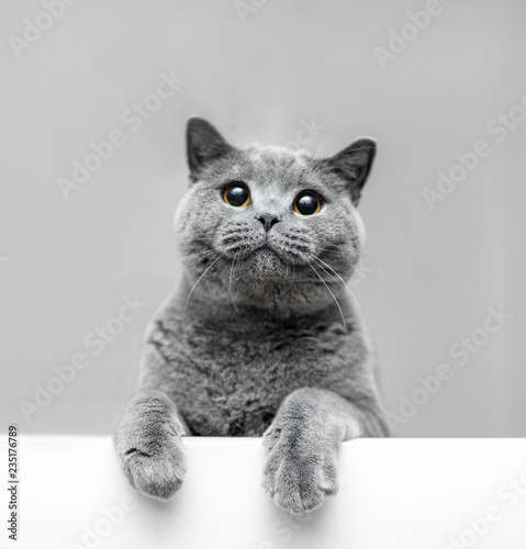 Grey playful cat leaning out. - 235176789