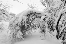 Branches Of Trees And Shrubs Loaded With Snow After Heavy Snowfall.Natural Snow Arc. Overhanging Heavy Branches Bending Under Snow And Forming A Tunnel.