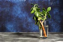 Sprig Of Crassulaceae Plant In...