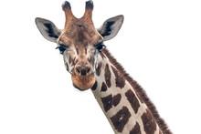 Giraffe Closeup White
