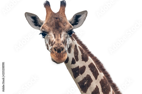 giraffe closeup white Canvas Print