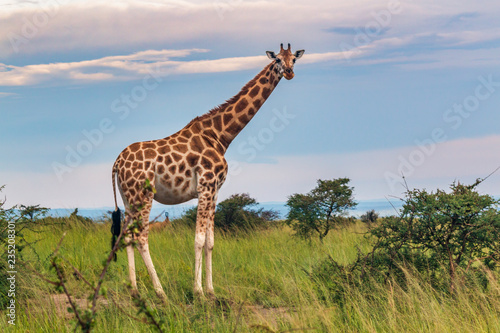 Photo  giraffe full