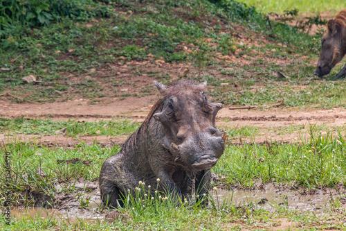 Photo  Warthog