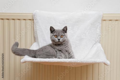 Keuken foto achterwand Kat jeune chaton race british shorthair yeux jaune orange dans hamac suspendu à un radiateur