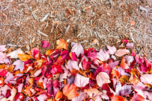 Red Autumn Maple Leaves With Wood Mulch