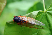 Winged Cicada Close Up