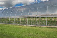 View Through The Open Side Of A Large Hoophouse Filled With Orderly Rows Of Pepper And Tomato Plants