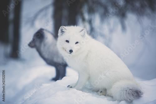 Fotografie, Obraz Close up portrait view of Arctic Fox in Finland, Lapland, near Rovaniemi