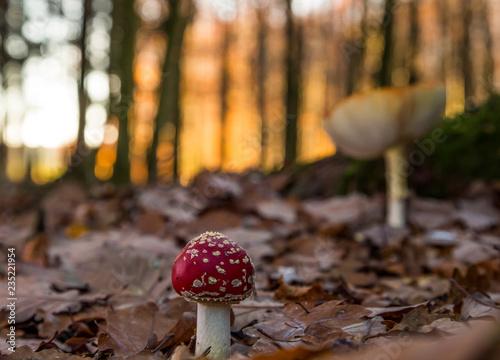Fotografie, Obraz  champignon de noel