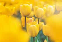USA, Washington State, Skagit Valley, Tulip Field, Yellow Tulips, Close-up