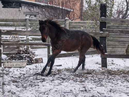Photo  Young bay horse walks in snow covered pen in winter