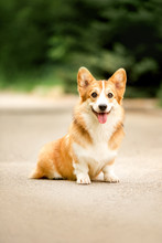 Smiling Happy Welsh Corgi Dog ...