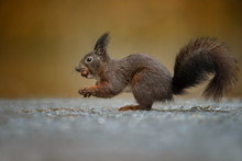 Red Squirrel In The Forest On ...