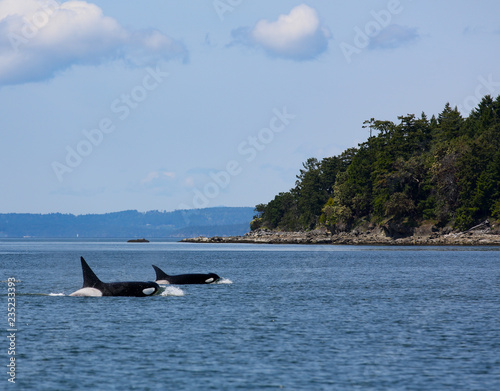 Killer Whale Orca Pod swimming in the San Juan Islands off the coast of Vancouver, British Columbia