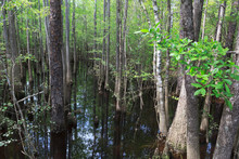 Cypress Stand On Blackwater River In Florida Panhandle