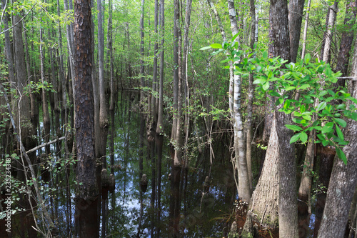Cypress Stand on Blackwater River in Florida Panhandle Wallpaper Mural