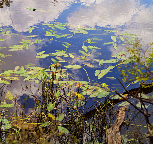 Colorful waterplant leaves and reflections on Blackwater River in the Florida Pa Wallpaper Mural