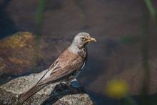 Northern Mockingbird With Inse...