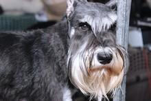 CUTE SCHANUZER DOG
