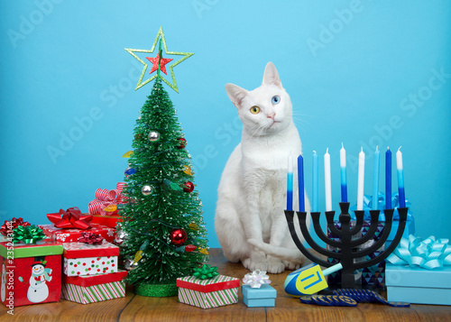 Fotografie, Obraz  Adorable white kitten with heterochromia (odd eyes) sitting between a Christmas tree and a Hanukkah Menorah, head tilted