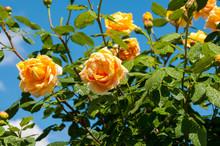 Bush Yellow Garden Roses (Golden Celebration) Against  Blue Sky