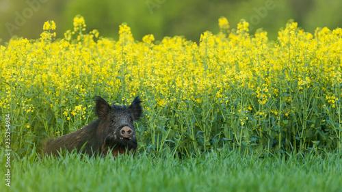 Fotografie, Tablou laie dans un champ de colza
